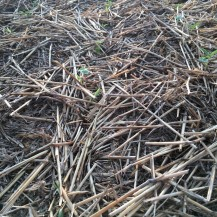 Companion crops and sorghum emerging near Bucklin, KS